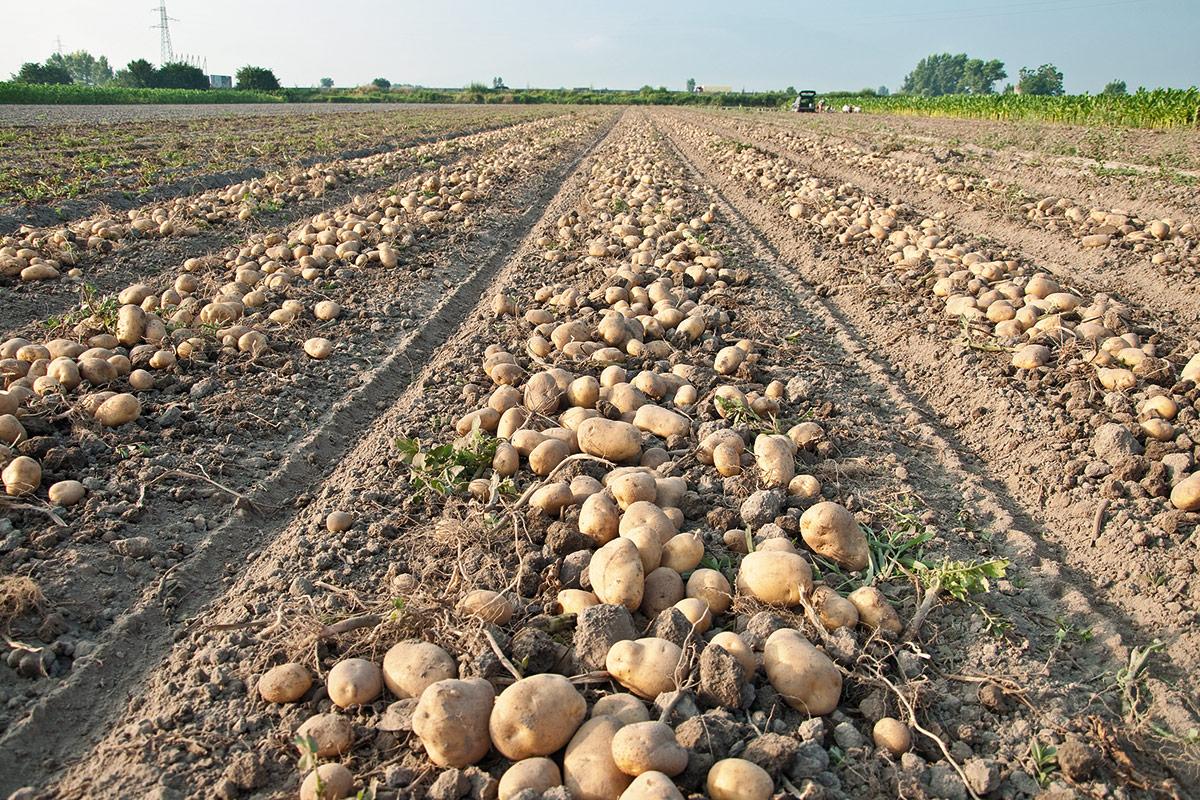img-patate